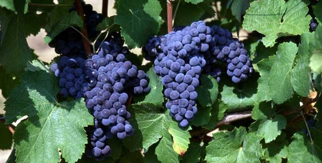 Fun Facts: What's the Difference Between Cabernet Sauvignon and Merlot ?