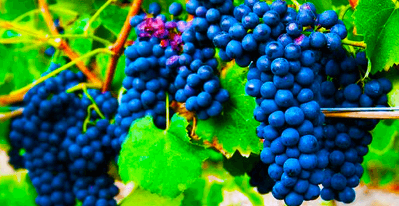 Fun Facts: What's The Difference Between Syrah and Shiraz ?